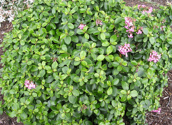 Escallonia exoniensis 'Terri'