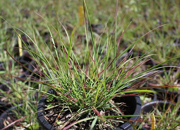 Pennisetum alopecuroides 'Burgundy Bunny'
