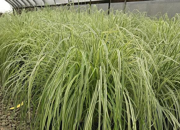 Calamagrostis x 'Overdam'