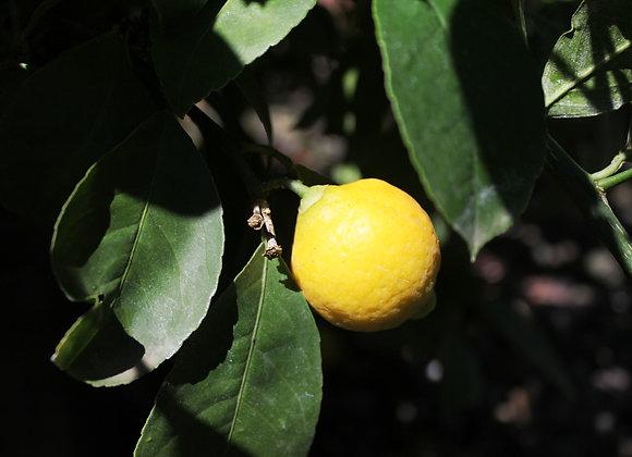 Citrus x meyeri