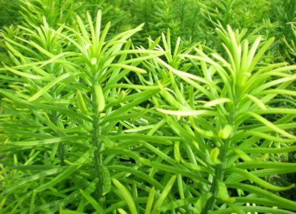 Cephalotaxus harringtonia 'Fastigiata'