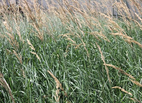 Calamagrostis x 'Karl Foerster'