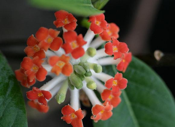 Edgeworthia chrysantha 'Rubra'