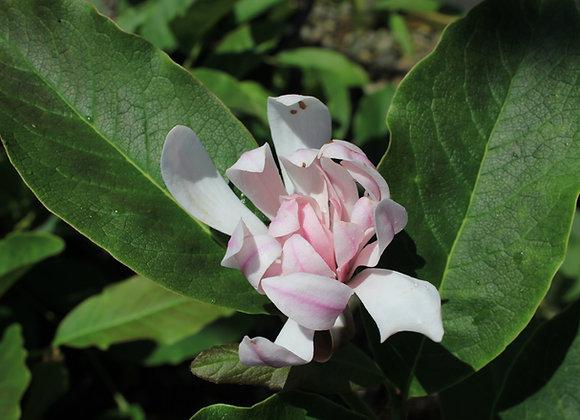 Magnolia stellata 'Pink Stardust'