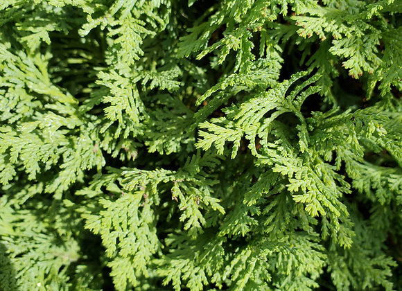 Chamaecyparis lawsoniana 'Spring Cream'