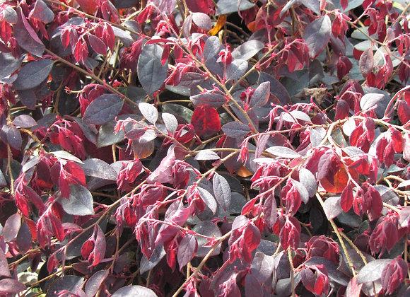 Loropetalum chinense var. rubrum 'Pipa's Red'