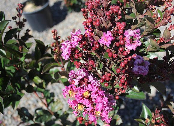 Lagerstromia indica Enduring™ Summer Lavender PP25195