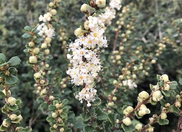 Ceanothus maritimus 'Popcorn'