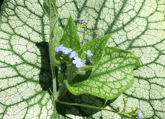 Brunnera macrophylla 'Jack Frost' PP#13859
