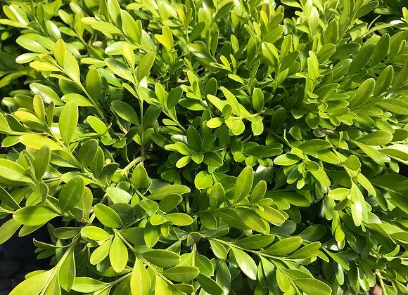 Buxus sinica var. insularis 'Tide Hill'