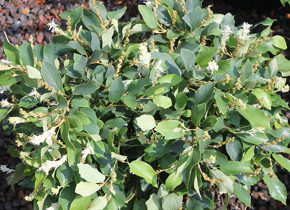 Fothergilla gardenii 'Jane Platt'