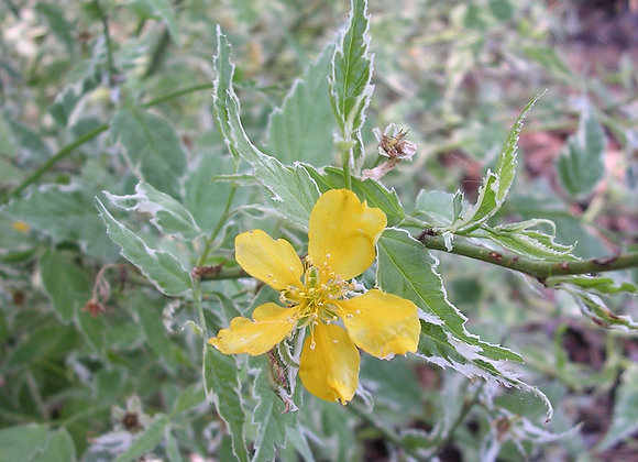 Kerria japonica 'Variegata'