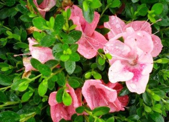 Rhododendron nakahari 'Pink ES'