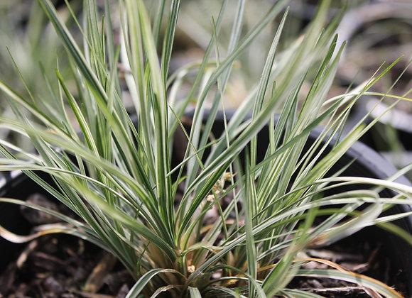 Ophiopogon japonica 'Variegata'