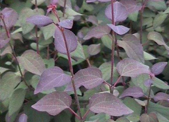 Cercidiphyllum japonicum 'Rot Fuchs'