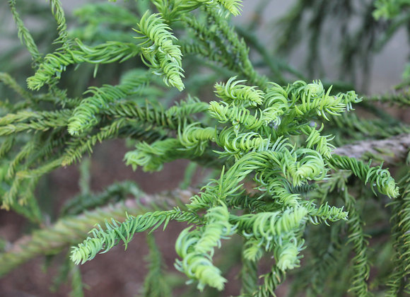 Cryptomeria japonica 'Rasen'