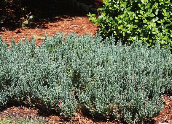 Juniperus sabina 'Blue Forest'