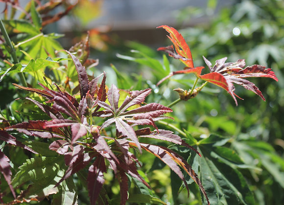 Acer palmatum 'Aoba Jo'