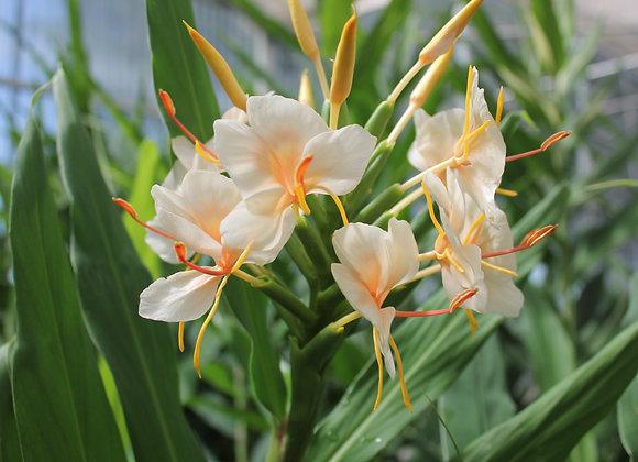 Hedychium coronarium 'Elizabeth'