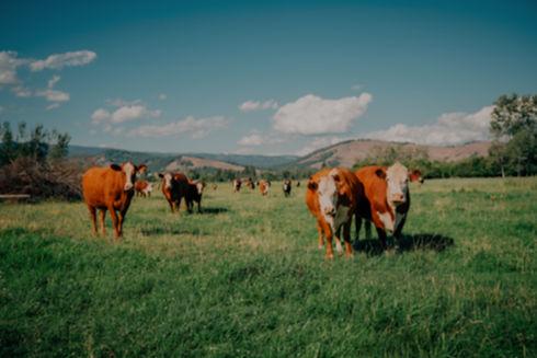 Cows%20in%20Pasture_edited.jpg