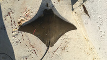 Cownose Ray Migration at Perdido Pass