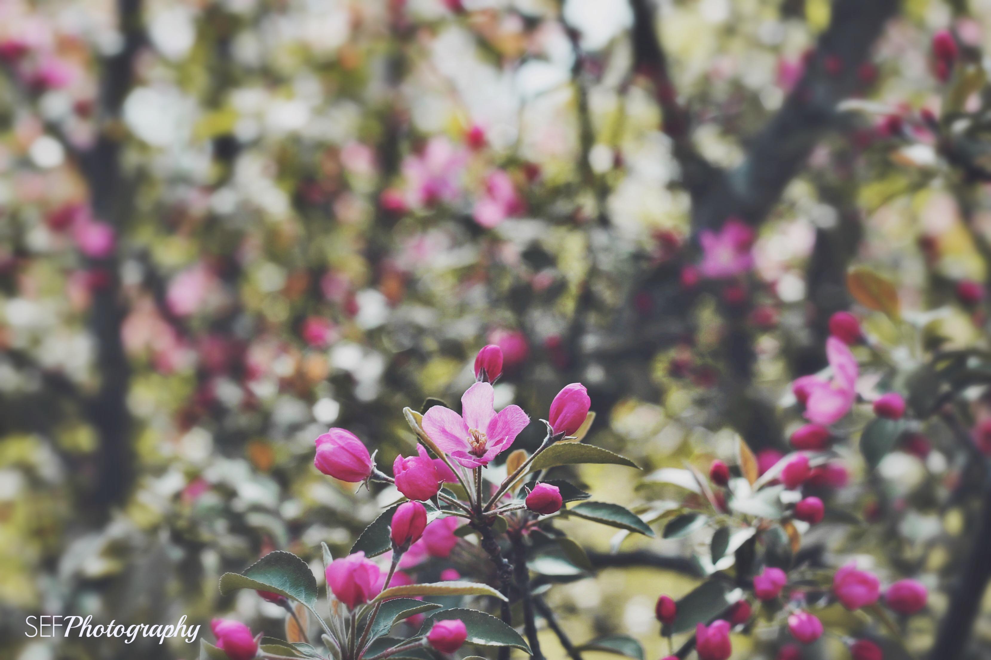 Spring Blossoms, Enterprise ON