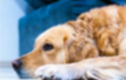 Lethargic, less active dog