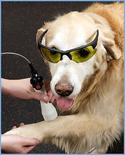 Canine rehab patient in laser treatment