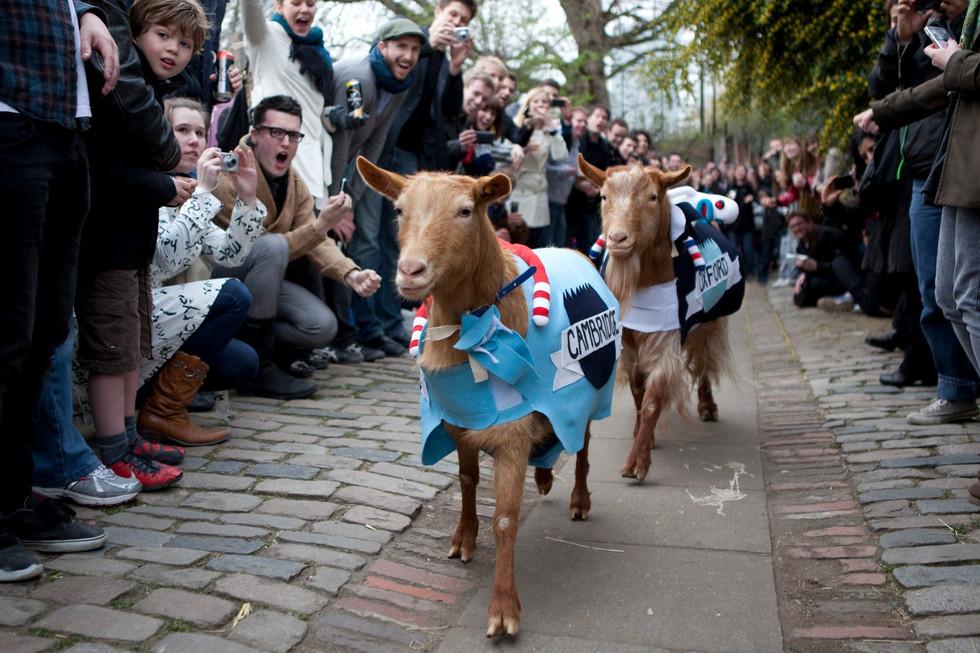 A goat race in London: True or False?