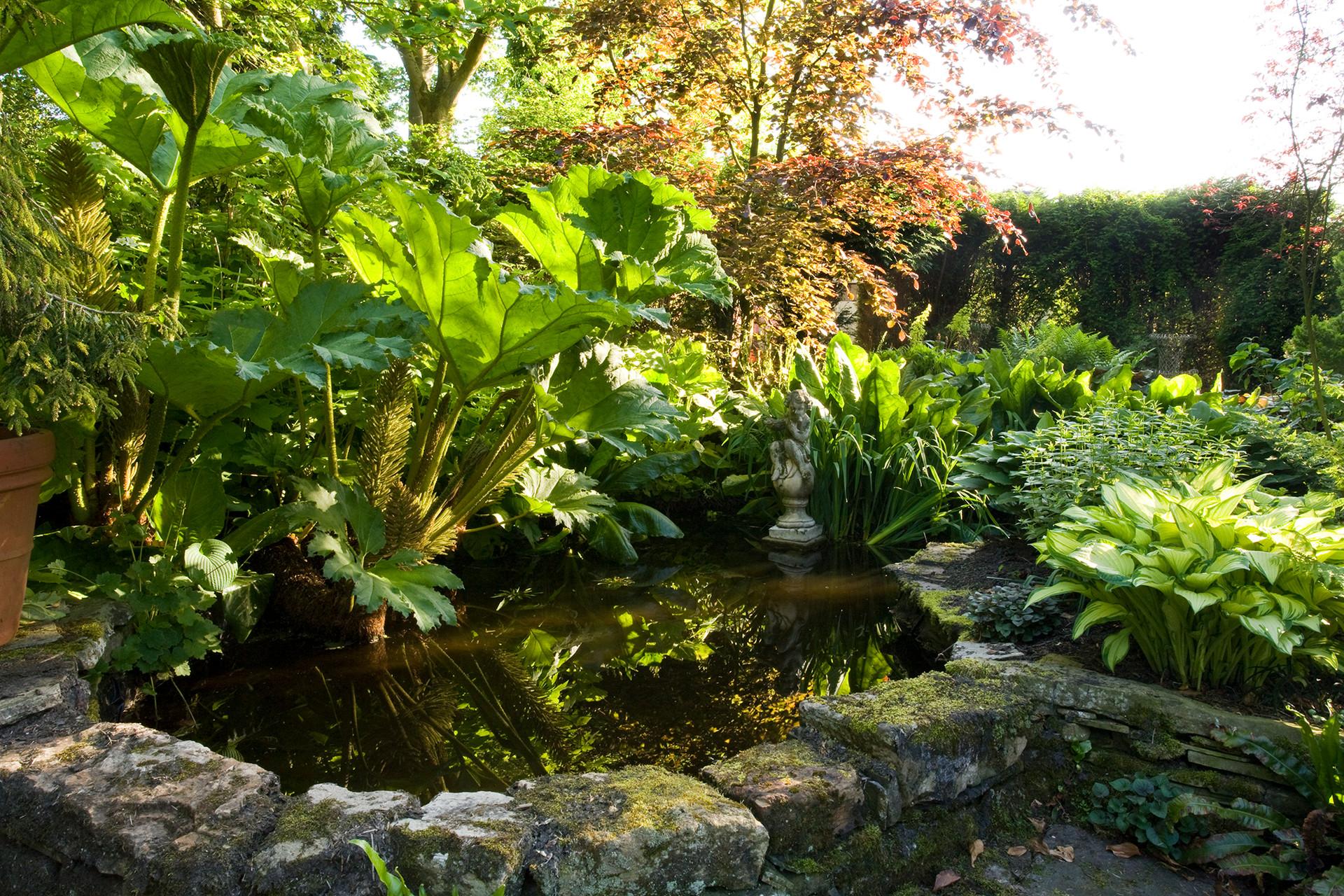 Gunnera and pond