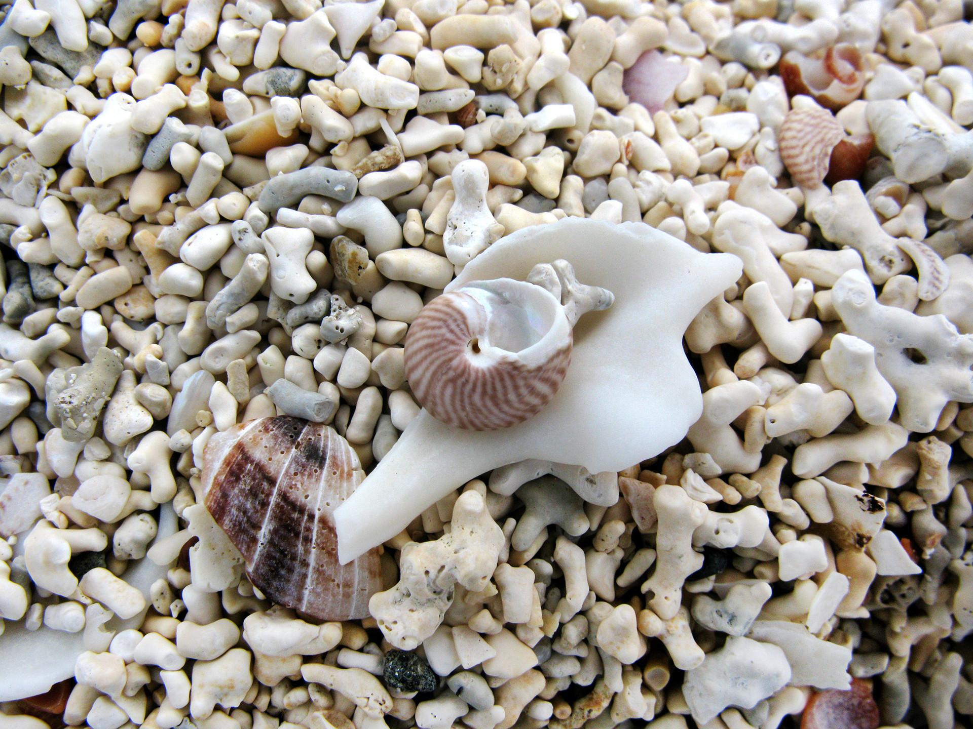 Shells, Coral Beach
