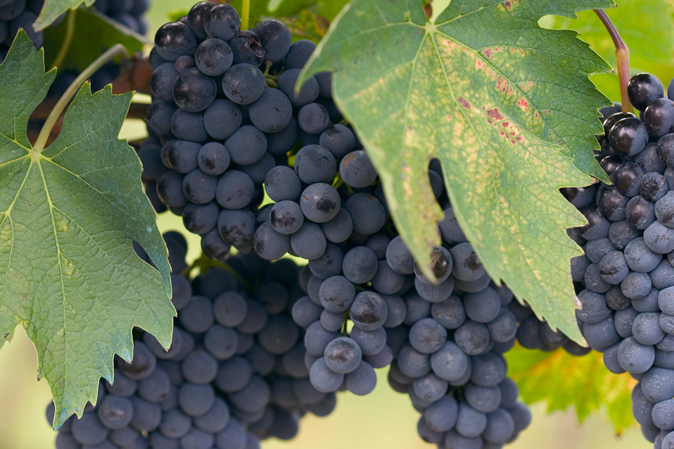 Black grapes ripe for harvest