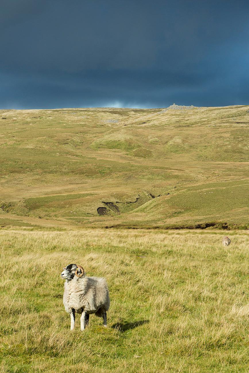 Swaledale sheep, Nine Standards Rigg