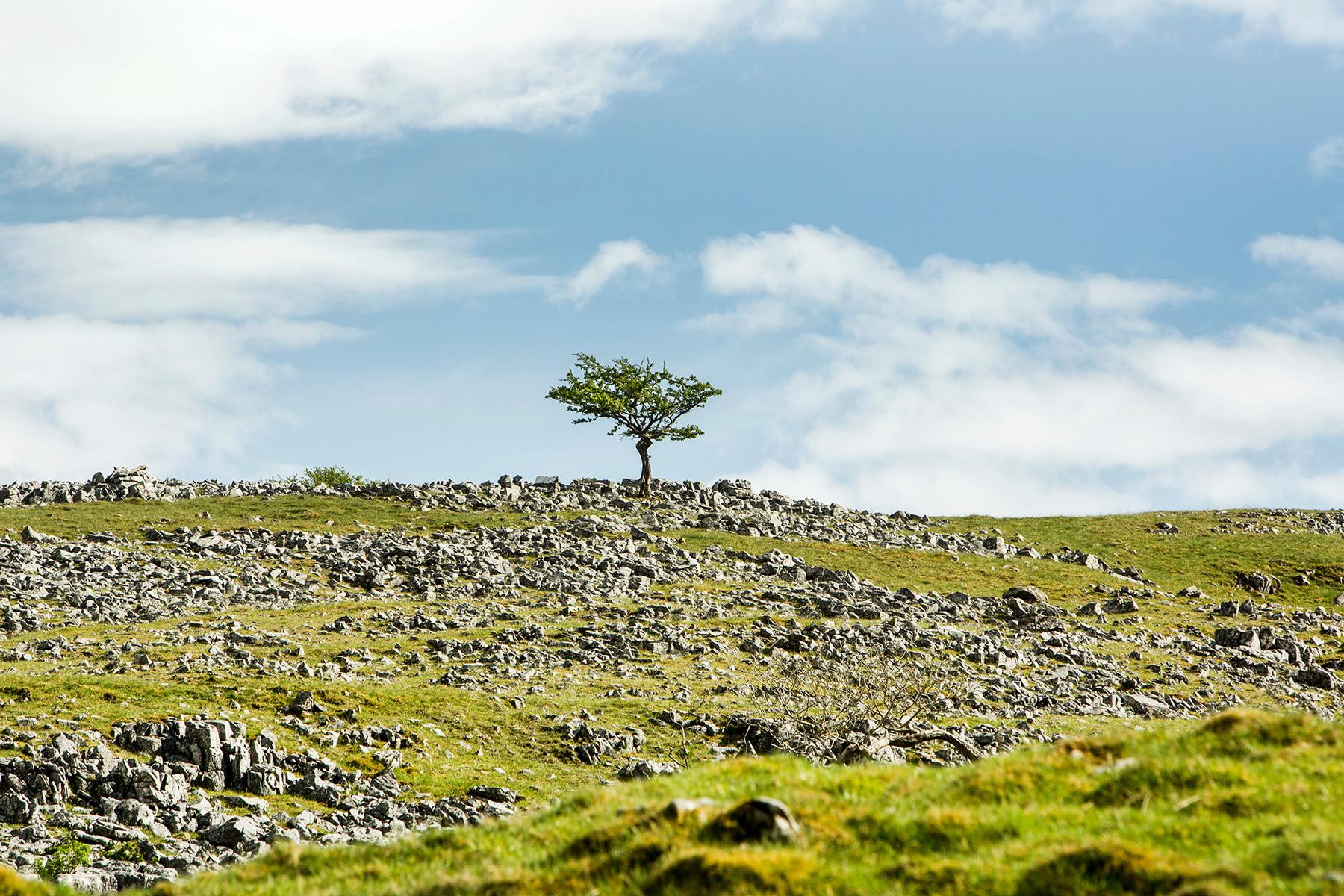 Limestone Pavement and lone tree