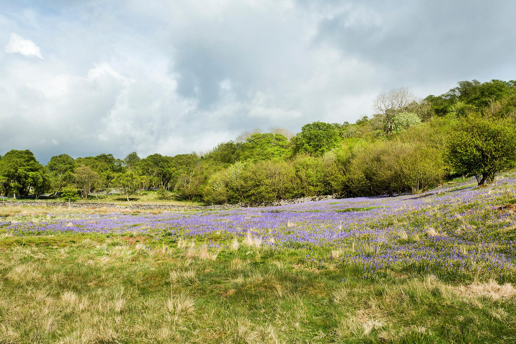 Bluebells, Wharfe Wood