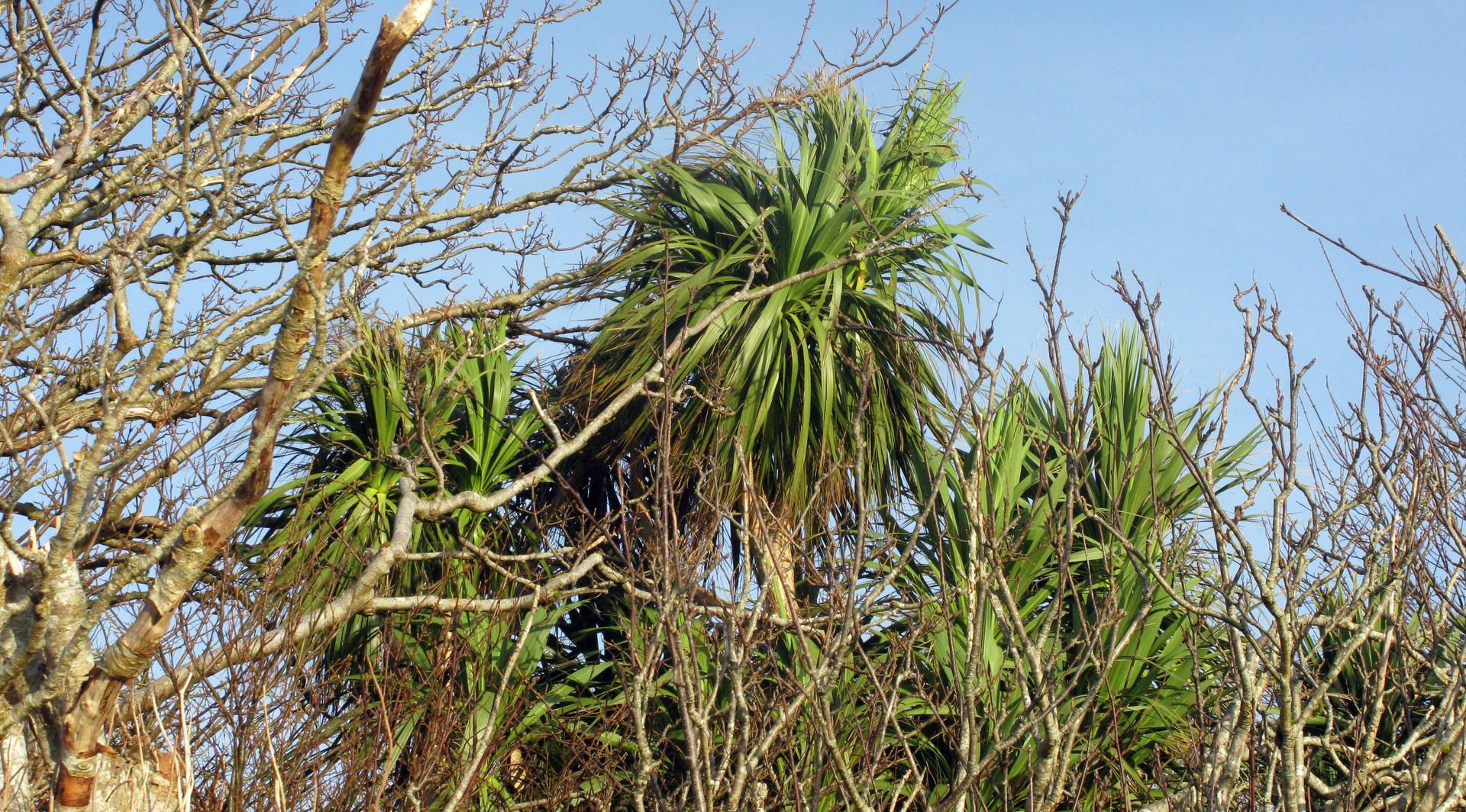 Palm Trees, Skye