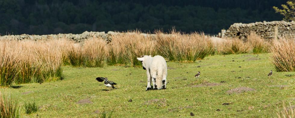 Lamb and lapwings