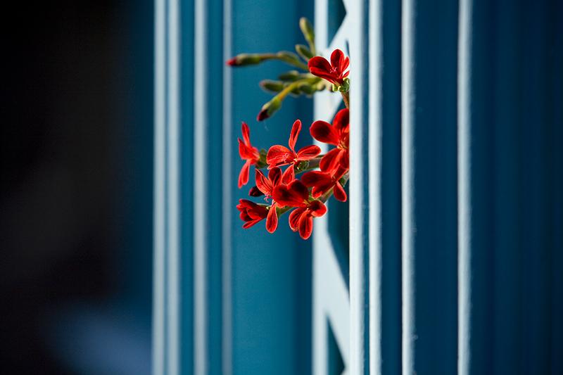Red Pelargonium and Turquose Trellis
