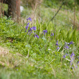 Bluebells, Green Pastures Cottage