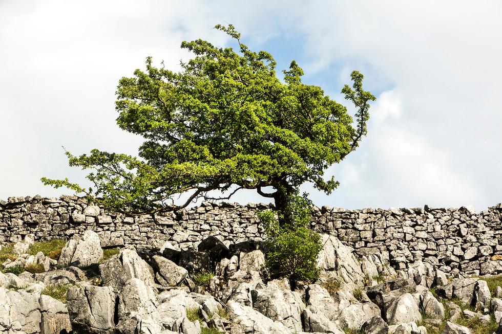 Limestone and hawthorn