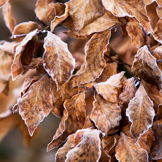 Frosted beech leaves