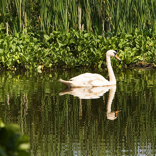 Clearbeck swans