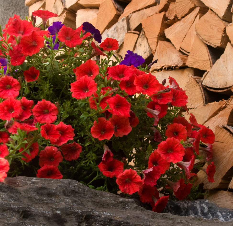 Petunias and Logs, French Apls