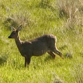 Red Deer on the Croft