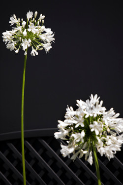 White Agapanthus Photo Art