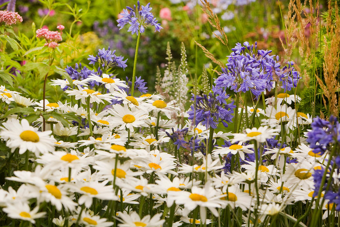Ox-eye daisy and agapanthus