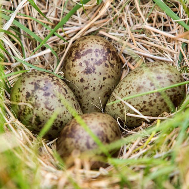 Lapwing Eggs
