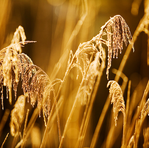 Clearbeck Frosty Grasses