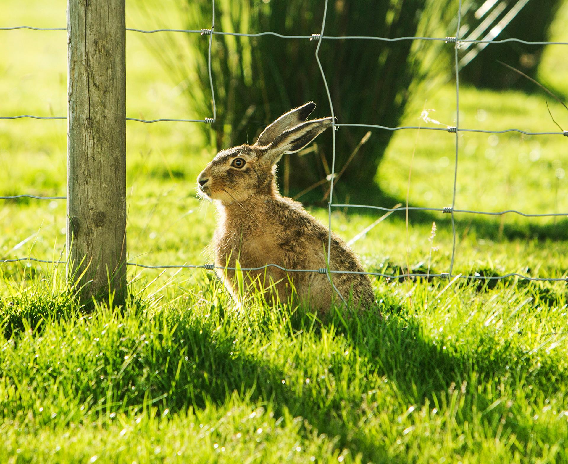 Brown Hare in Garden