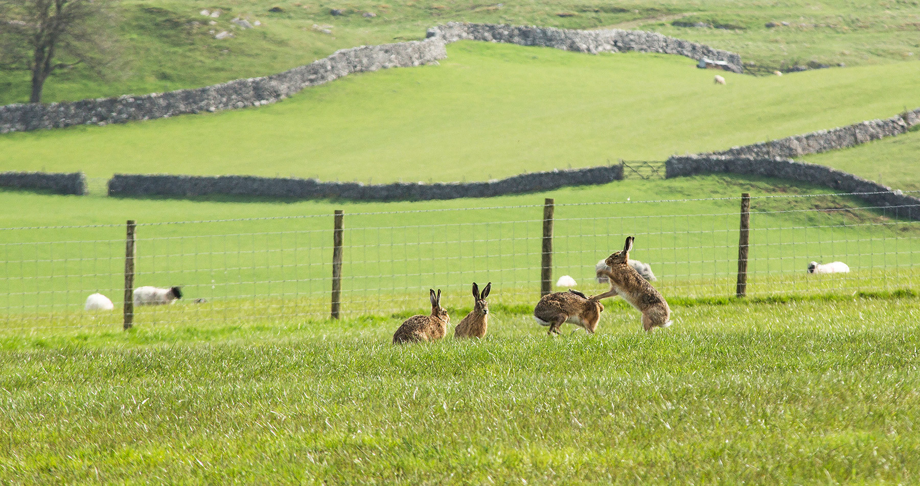 Boxing Brown Hares